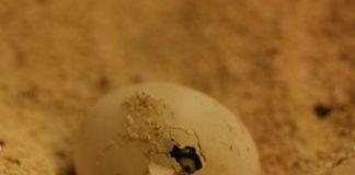 Uovo tartaruga